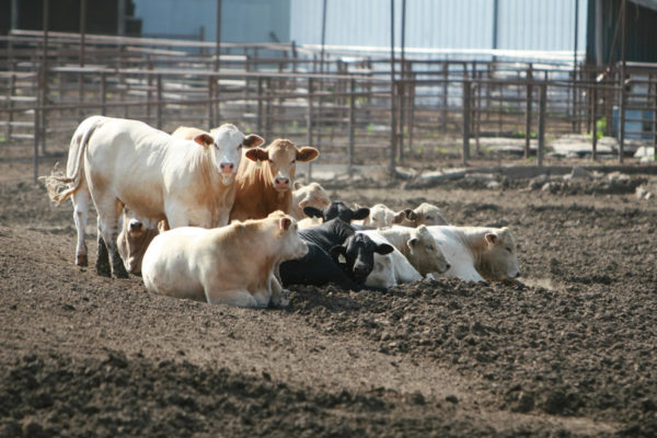 feedlots cattle